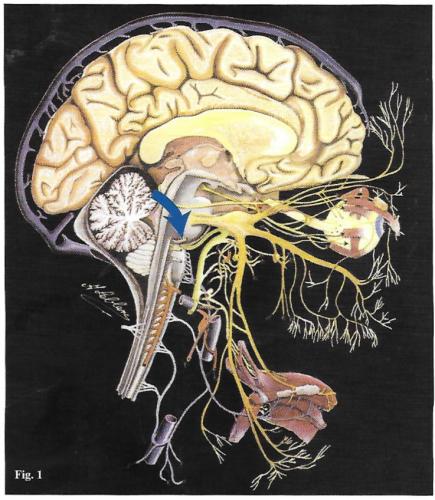 nerf vestobulo-cochléaire-nerf sensoriel de l'oreille