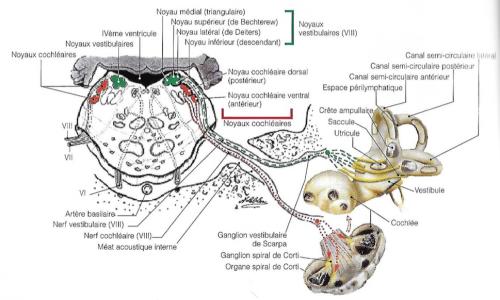 diagramme des noyaux cochléaires et vestibulaires, organes de l'équilibre et de l'audition