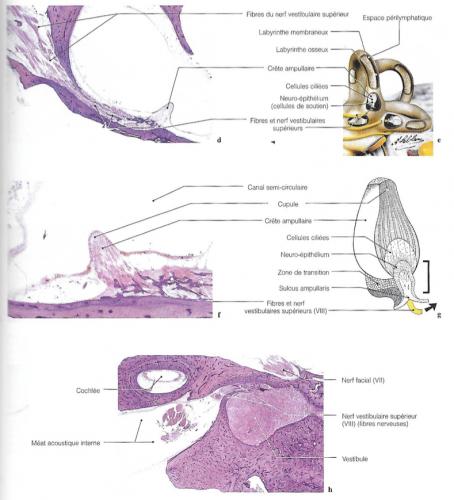 Diagrammes et imageries de l'utricule, des crêtes ampullaires et du nerf vestibulaire