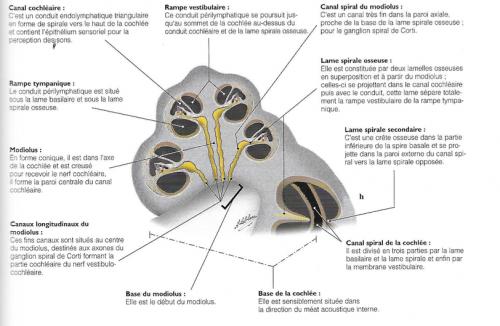 Diagrammes pour la mise en évidence des rapports du modulos avec le nerf cochléaire et de la lame spirale osseuse pour les rapports de communications entre le canal cochléaire et les rampes vestibulaires et cochléaire; imagerie en corrélation avec un diagramme pour les crêtes ampullaires avec, pour chacune, la mise en évidence du nerf ampullaire correspondant.