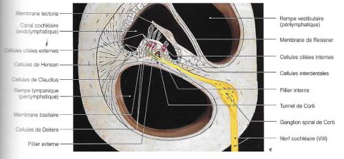 oreille, audition, diagramme du ganglion et de l'orage de Corti superposé à des préparations anatomiques en corrélation avec des vues d'IRM