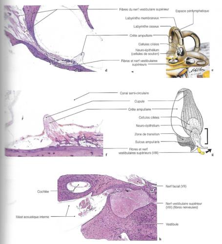 diagramme et imagerie de l'utricule, des crêtes ampullaires et du nerf vestibulaire