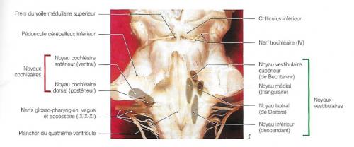 oreille, équilibre et audition : les noyaux vestibulaires