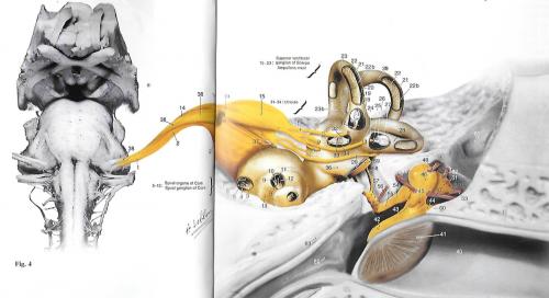 oreille interne, moyenne et externe : le sillon bulbo-protubérantiel