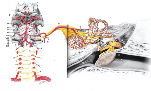 vascularisation de l'oreille moyenne et de l'oreille interne